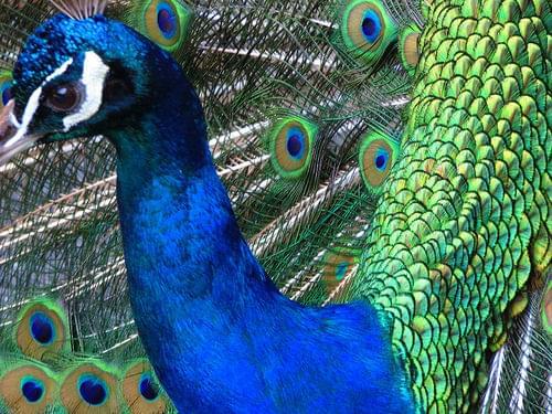 Peacock: Hamilton Zoo Park