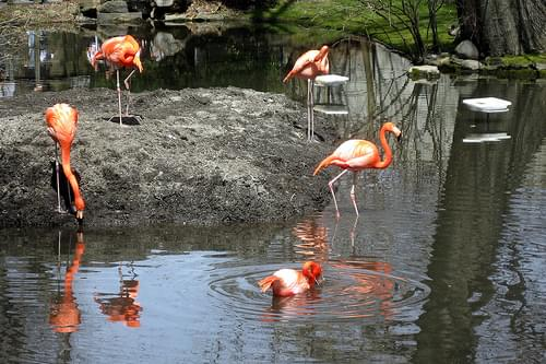 NYC - Bronx - Bronx Zoo: Flamingos