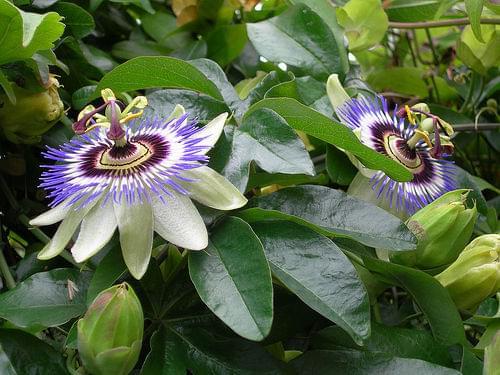 Wild Passionflowers (flor de maracujá)