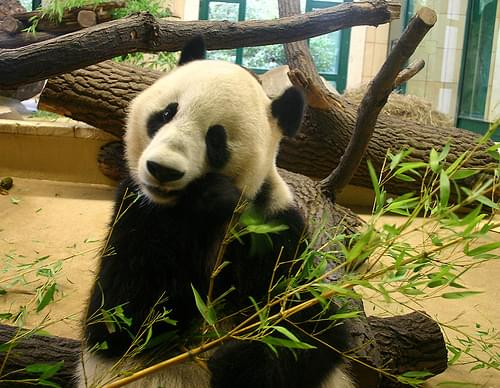 Long Hui, The Panda 3 (Schonbrunn, Vienna)