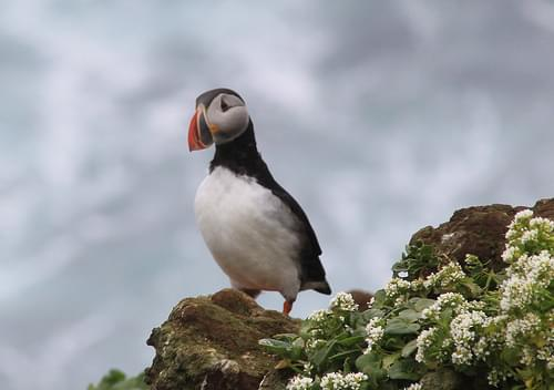 Puffin Looks Left, Grimsey Iceland