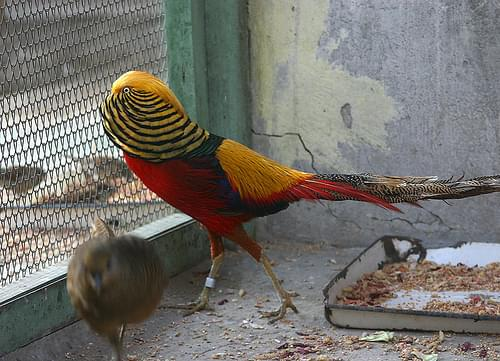 Золотой фазан 2. Испугал девушку