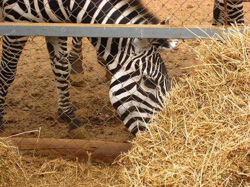 Zebra - Paphos (Pafos) Bird and Animal Park (Pafos Zoo), Cyprus