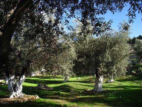 Gethsemane olive trees