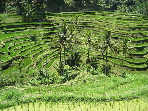 Rice field terrace