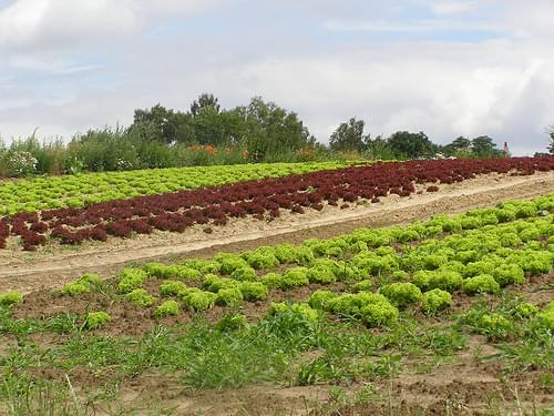 Kolorowe pole sałaty