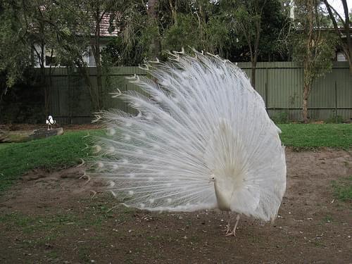 peacock!!! @ featherdale wildlife park