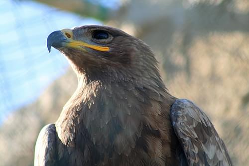 In search of the Maltese Falcon #10 - Steppe Eagle, Malta Falconry Centre