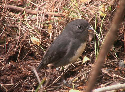 Petroica australis (New Zealand Robin) - Juvenile