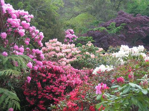 Group of rhododendrons, Hopkirk's Gardens