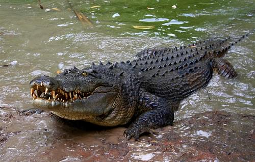 Crocoldile