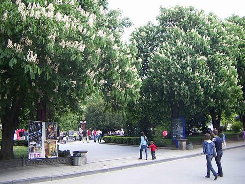 Chestnuts Blossom In Ternopil (West Ukraine)