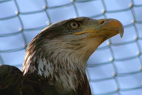 In search of the Maltese Falcon #14- Bald Eagle, Malta Falconry Centre