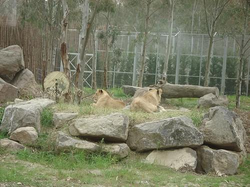 Aslanlar (Lions)