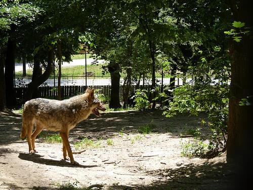 Sibiu zoo - wolf
