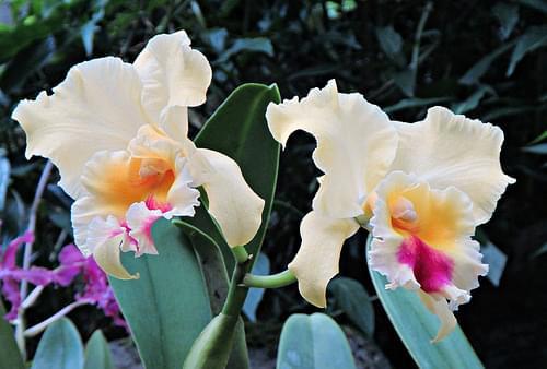 Fijian orchids
