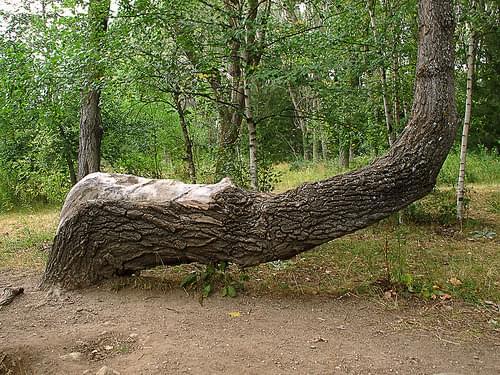 Arbol curvado * Crooked  tree