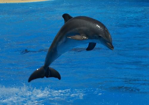 Bottlenose Dolphin (Tursiops Truncatus), Marineland, Antibes