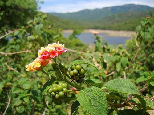 Hoa Ngũ Sắc / Lantana, Núi Chúa National Park