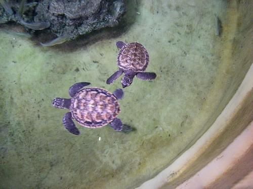 Hawksbill turtles, Kula Eco Park