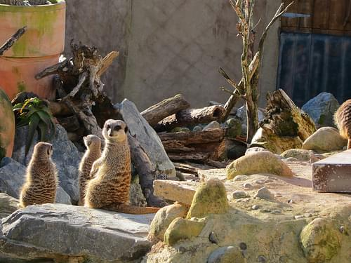 Meercats @ Wellington Zoo
