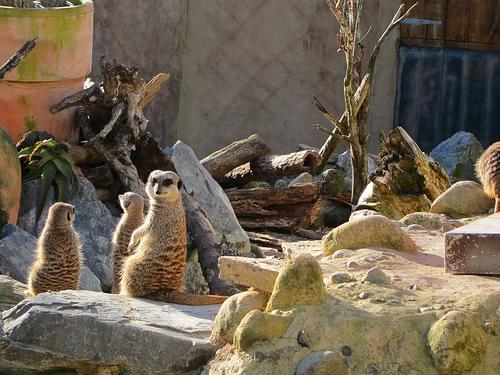 Meercats @ Wellington Zoo