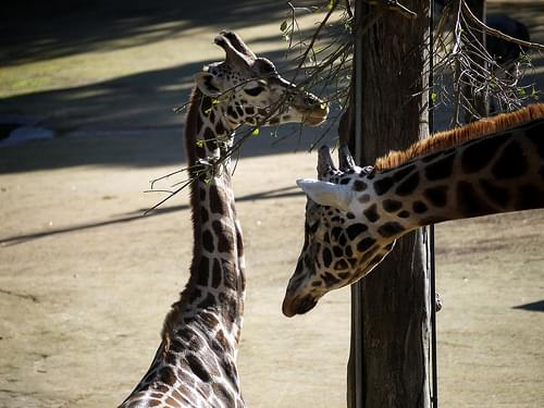 Giraffes at Auckland Zoo