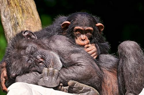 Young chimpanzee and sleeping mother
