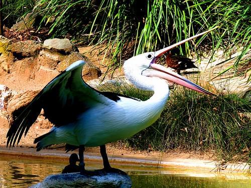 Pelican Adelaide Zoo #dailyshoot
