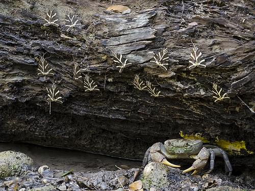Freshwater crab hunting butterflies II