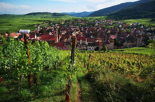 Riquewihr Vines