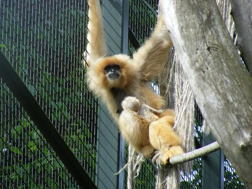 Golden-cheeked gibbons