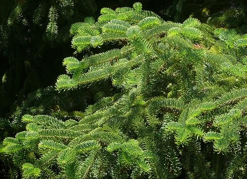 Abies nordmanniana ssp. equi-trojani #2