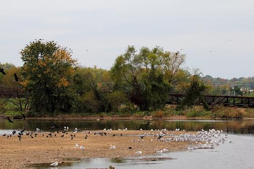 Crows and Gulls at Bladensburg