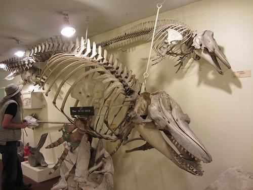 Whale Skeletons at the Booth Museum