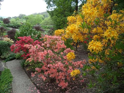 Crafers. Mount Lofty Botanic Gardens. Deciduous azaleas flowering in spring.