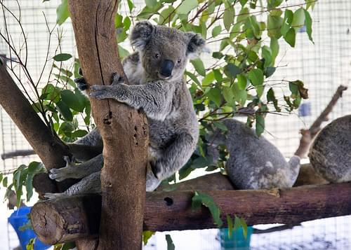 Kohuna Koala Park