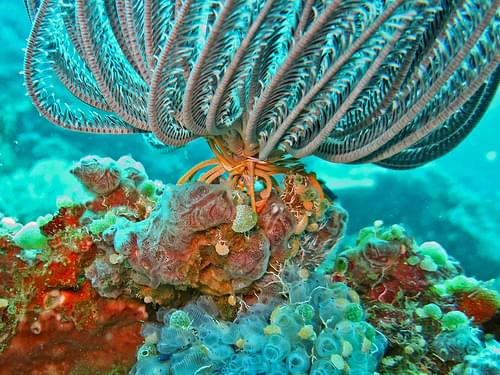 A Crinoid attached to a coral reef