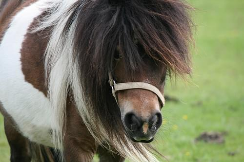 Pony close up - Eshott Heugh Animal Park, Felton, Northumberland