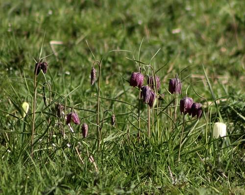 Snakes-head fritillaries