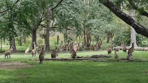 Kangaroos on alert