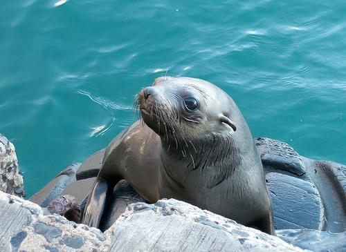 Seal at Kalk Bay Harbour