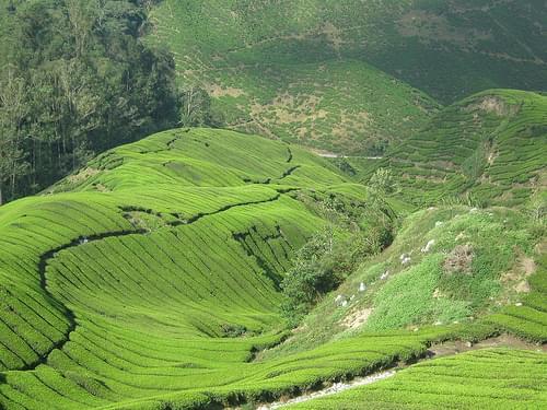 Bharat Tea Plantation Cameron Highlands Malaysia