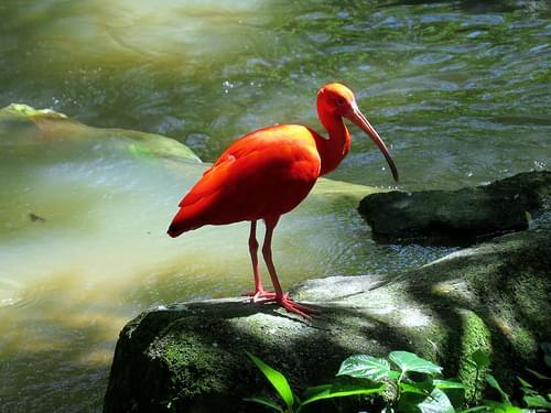 Scarlet Ibis - Kuala Lumpur Bird Park - KL Bird Park - Kuala Lumpur, Malaysia