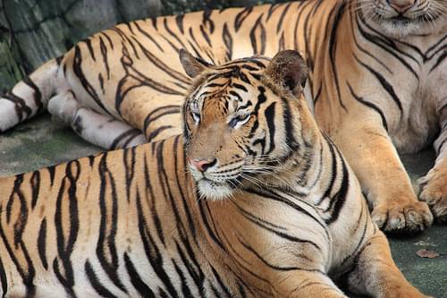stare tiger