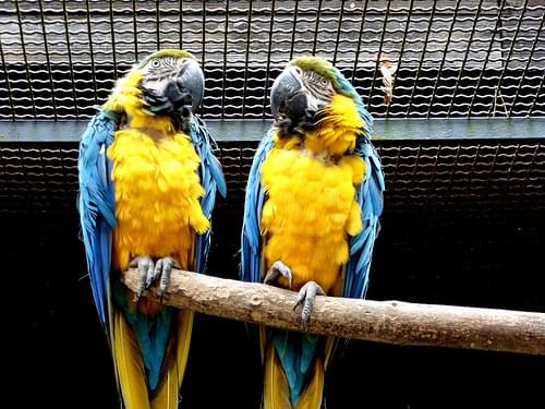 Perrots from Ljubljana zoo