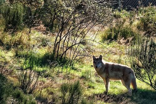 Les loups du parc du Gévaudan