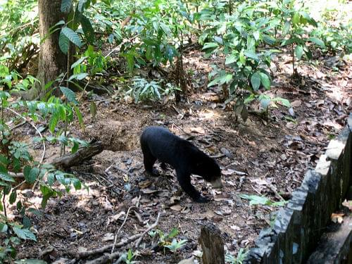 Sun bear (Helarctos malayanus) at the sun bear sanctuary