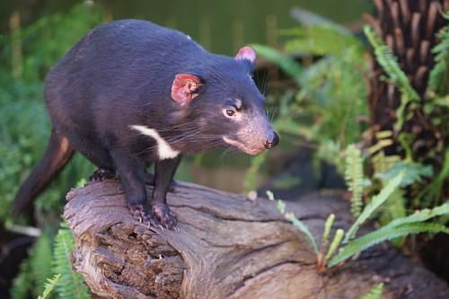 Tasmanian Devil (Sarcophilus harrissi)