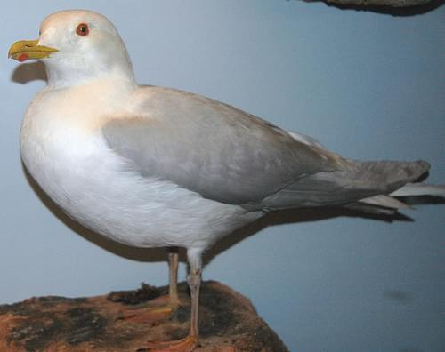 Larus glaucoides (Iceland gull)